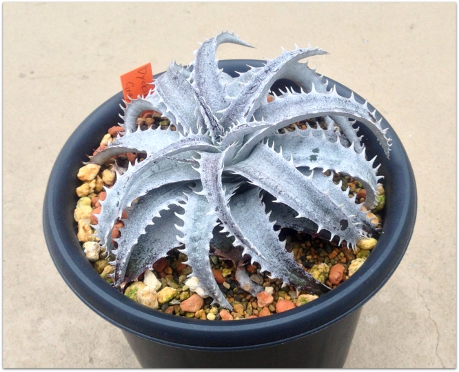 Dyckia Gray Ops