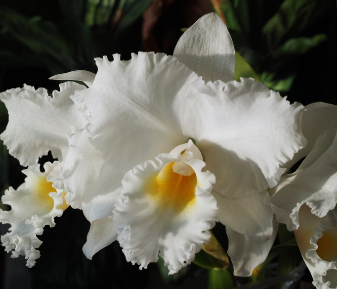 Cattleya Hawaiian Jewel 'Fuji' SM/JOGA