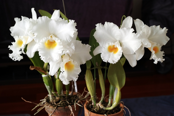 Cattleya 'Hawaiian' series